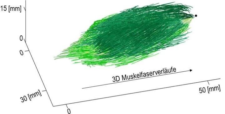 3DMuskelfaserarchitektur