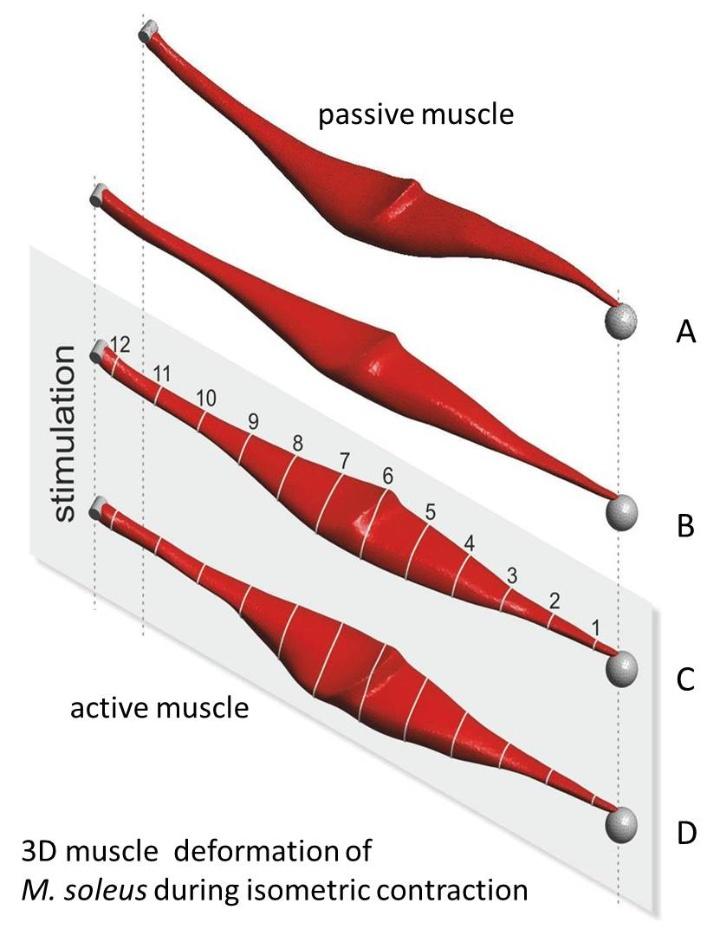 Muskelverformung (c)